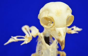 Photo of bird skeleton
