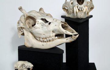 photo of Animal skulls