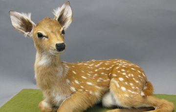 Photo of a fawn